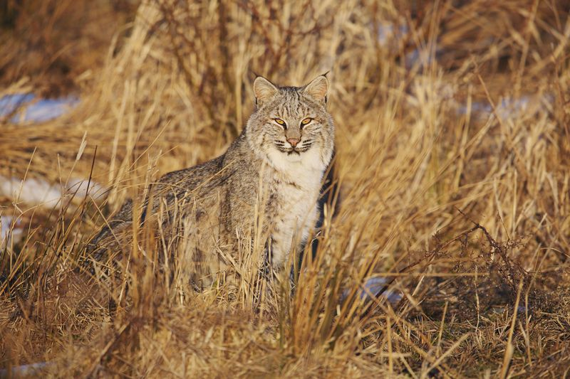 Bobcats are Everywhere